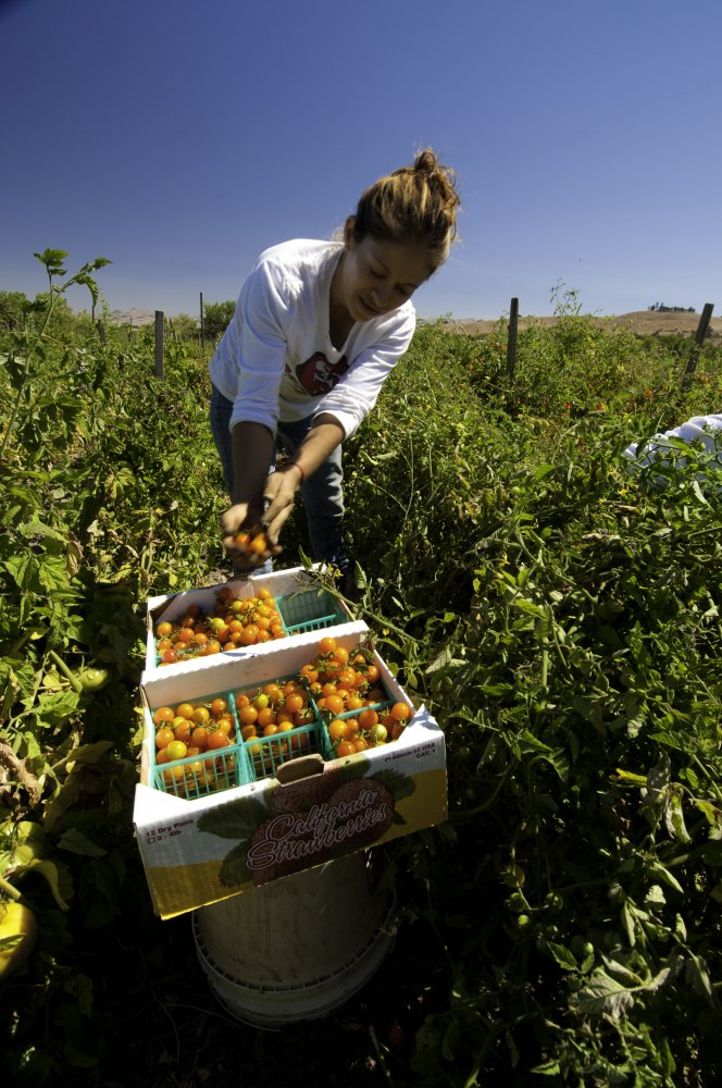 Migrant workers harvest tomatoes on Uesugi Farms in Gilroy, CA on Wednesday, Aug. 28, 2013. USDA photo by Bob Nichols.